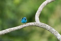 Blue Dacnis, Dacnis bleu,6197.jpg (Zoizeaux de Gabriel) Tags: panama bluedacnis dacnisbleu canopytower soberanianationalpark