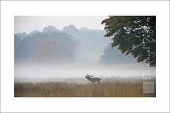 Red Deer  alone (Emmanuel DEPARIS) Tags: uk red photo nikon richmond deer emmanuel cerf d4 animalier deparis