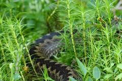 Woodland Explorer (This_is_Juniper) Tags: woodland scotland heather trossachs lochs adder aberfoyle lochard queenelizabethforestpark