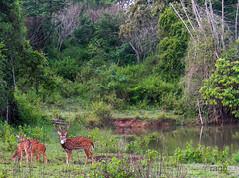 dears (raghphotography) Tags: ragh wyanad kerala forest canon raghphotography photography dear deers nature green wayanadwildlifesanctuary