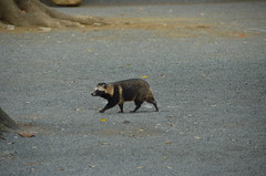 DSC_1513 (My many travels) Tags: japan tokyo shrine shibuya tanuki   raccoon  shinto meiji jingu