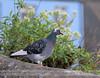 pigeon in a seaside town copy