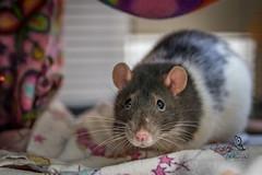 Ottawa Rat Rescue (62) (~Bella189) Tags: