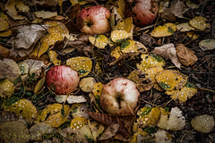 The Fall Parade (tHuRsDay) (13skies) Tags: travel autumn color colour fall leaves droplets apples yellows reds colder brisk fallenapples sonya99
