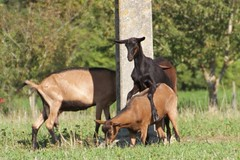 Goats having fun (Val in Sydney) Tags: france animal goat touring chevre indreetloire