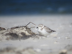 PIPL_2015c (Surfishrink) Tags: northcarolina outerbanks pipingplover shorebird charadriusmelodus blowingsand 2015birds pipingplovercontroversy