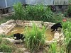 Sun bears being rehabilitated in enclosure (Animal People Forum) Tags: bear rescue sun project indonesia wildlife palm borneo oil rehabilitation palmoil sunbear wildliferehabilitation samboja lestari