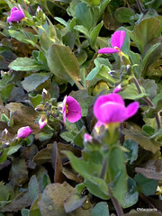 Arabis alpina subsp. caucasica 'Hedi'