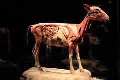 Science World - October 15, 2015 (rieserrano) Tags: lamb bodyworlds plastination