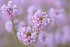 Pastel (mamzellelouison) Tags: rose fleurs bokeh profondeur de champs douceur