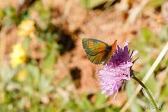 Schmetterling 120 (rgr_944) Tags: macro butterfly tiere natur pflanzen blumen papillon insekten schmetterling canoneos60dcanoneos70d rgr944