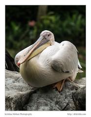 Great white pelican (Pelecanus onocrotalus) (drkrishi) Tags: flamingoes singapore asia rainbowlorikeet mandarinduck jurongbirdpark hawkheadedparrot scarletibis rockhopperpenguin macaws toucans africanpenguin rhinoceroshornbill greycrownedcrane nicobarpigeon whitecockatoo atlanticpuffin piedcrow greatwhitepelican blueandyellowmacaw kingpenguin greaterblueearedstarling saruscrane greathornbill westerncrownedpigeon saffronfinch whitebelliedseaeagle saddlebilledstork lesserbirdofparadise africangreyhornbill greateradjutant wreathedhornbill silverbeakedtanager redsidedeclectus bluestreakedlory poolsamphitheatre chatteringlory highflyersshow theredbusatyouthpark evenfirehydrantcantalkinsingapore panoramaofsunriseatboatquayfrom5pointwayinn maleandeancockoftherock sunriseatboatquayfrom5footwayinn woodduckorcarolinaduck