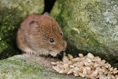 hungry vole.............. (Suzie Noble) Tags: wall garden mammal vole bankvole stonedyke strathglass struy