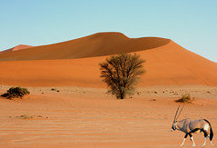Gemsbok Oryx & Dune (paulafrenchp) Tags: