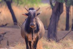 107A0600-2 (Tarun Chopra) Tags: wild india canon photography farming bull ox gurgaon 5dr canondsr canon5dsr 5dsr