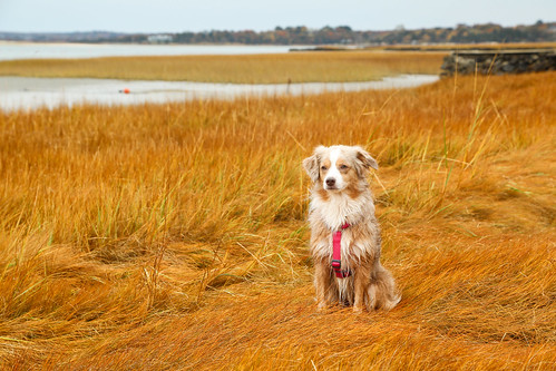 Wet Laika Having Fun in the Marsh in Massachusetts