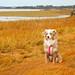 Wet Laika Having Fun in the Marsh in Massachusetts