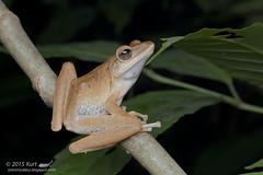 Polypedates leucomystax_MG_5865 copy (Kurt (OrionHerpAdventure.com)) Tags: amphibian frog amphibians commontreefrog polypedatesleucomystax polypedates fourlinedtreefrog frogsofmalaysia