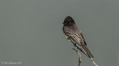 Black Phoebe (Bob Gunderson) Tags: sanfrancisco california birds northerncalifornia boathouse lakemerced blackphoebe sayornisnigricans flycatchers empidonaxflycatchers canoneos7dmarkii