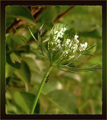 A Dangerous Game, Predator VS Prey 1 - 2D (DarkOnus) Tags: county macro closeup insect lumix spider fly day pennsylvania arachnid panasonic jumper friday predator 2d bucks bold ambush audax phidippus flydayfriday dmcfz35