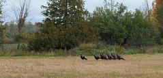 Wild Turkeys (thepoocher7) Tags: outdoors trees cedartree fence field wildturkeys maleturkeys gobblers toms fall autumn turkey grass fallcolours rednecks birds largebirds wild ontario canada gamebirds