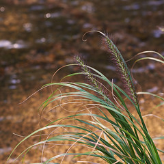 Grasses by the river (Tim Ravenscroft) Tags: grasses autumn kyoto japan stream