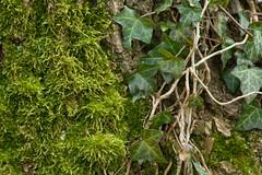 ckuchem- (christine_kuchem) Tags: baum baumrinde baumstamm efeu moos pflanzen rinde wald waldpflanzen bewchsen wild