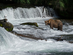 Brown Bear (sbuckinghamnj) Tags: brownbear katmai katmainationalpark alaska bear