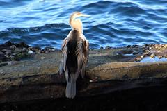 Darter (NTG's pictures) Tags: sydney nsw australia darter sea bird