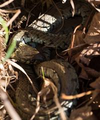 Grass snake (twodeeswildlife) Tags: grasssnake canon natrixnatrix neidrygwair snake basking macro sigma autumn leaves inblue wetlands