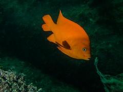 PA060409.jpg (Michael Bartosek) Tags: olympusepl3 catalinaisland olympus1442mm underwater catalina diving california pacificocean