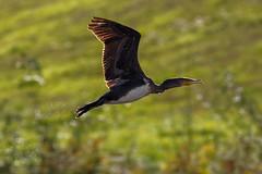 _F0A9199.jpg (Kico Lopez) Tags: cormorngrande galicia lugo mio phalacrocoraxcarbo spain aves birds rio cormorngrande mio
