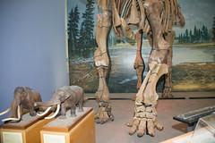 lower body -front view_7208 (Alice & Seig) Tags: fossils ithaca mammals mammalsmammalia newyork njny62016 proboscidea unitedstates flickr
