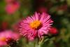 20160924_Cinq_Sens_Yvoire (12 sur 13) (calace74) Tags: rhonealpes hautesavoie nature fleurs macro jardinsdes5sens yvoire