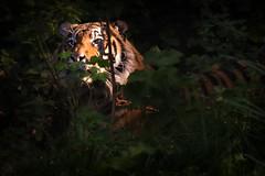 Sumatran Tiger (Mister Oy) Tags: davegreen oyphotos oyphotos tiger sumatrantiger wales welshmountainzoo hiding sunlight fujixpro2 fuji55200mm cat bigcat feline predator