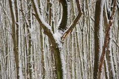 ckuchem-1648 (christine_kuchem) Tags: baumrinde buche bume eiche eis frost hainbuche natur pfad pflanzen ruhe samen spuren stille struktur wald weg wildpflanzen winter einsam kalt schnee ste