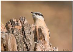 PICCHIO MURATORE - Sitta europea (ric.artur) Tags: piemonte picchiomuratore animali ali nikon naturalmente natura