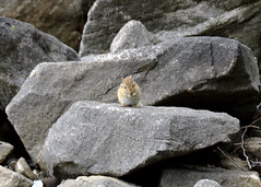Morris Island - chipmunk on rock