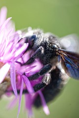 Xylocopa violace Animal Themes Close-up Nature Fragility Focus On Foreground Beauty In Nature Outdoors Extreme Close Up Details Of Nature EyeEm Best Shots - Nature Macro EyeEm Gallery Insect Photography Macro Photography Simple Quiet Love Animals In The W (youbooth.de) Tags: animalthemes closeup nature fragility focusonforeground beautyinnature outdoors extremecloseup detailsofnature eyeembestshotsnature macro eyeemgallery insectphotography macrophotography simplequietlove animalsinthewild macrocollection showcaseoctober ilovephotography eye4photography wildlifenature bee black flower dramaticangles