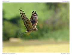 Busard cendr | Montagu's Harrier | Circus pygargus (BerColly) Tags: france auvergne puydedome oiseau bird busardcendr montagusharrier circuspygargus vol flight prise capture bercolly google flickr