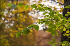 Autumn Green (Jistfoties) Tags: dawyckgardens autumn scottishborders botanicgardens landscape canon5d canon24105f4