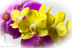 13okt2016a_500px (mesocyclone70) Tags: orchid orchidea flower bloom flowers yellow pink color colour colours colors colorfull colourfull beautifull spring summer macro closeup
