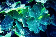 Only weed (bobbybee2000) Tags: fujixt10 outdoor nature unkraut morgentau garten rainwassertropfen natur garden shades light morningdew waterdrop
