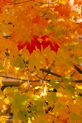 DUI_6847r (crobart) Tags: maple leaves fall colours colors