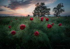 Seconds after sunrise (emil.rashkovski) Tags: flower flowers spring peony peonies valley tree sun sunrise sky clouds red green wild nature ourdoor bulgaria