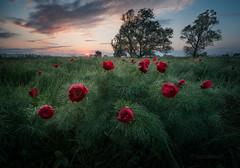 Seconds after sunrise (emil.rashkovski) Tags: flower flowers spring peony peonies valley tree sun sunrise sky clouds red green wild nature ourdoor bulgaria