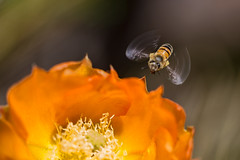 Bee and cactus flower (pablorodriguezmerkel) Tags: bee flower flying insect abeja flor nature naturaleza macro canon 100mm