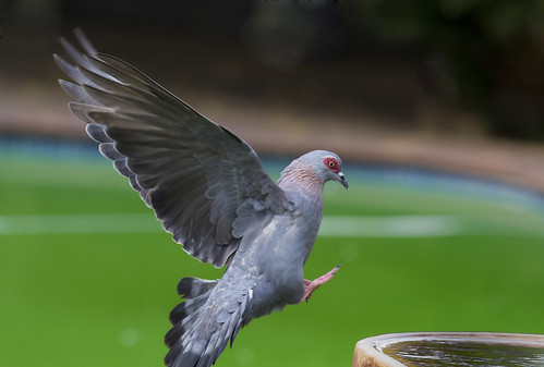 Speckled Pigeon, landing at Bird bath_4556