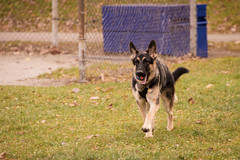 Artoo - Training Day (MorboKat) Tags: toronto dog canine canis canislupus canislupusfamiliaris canisfamiliaris canidae carnivore carnivora mammal mammalia animal animalia pet germanshepherd germanshepherddog alsatianwolfdog alsatian gsd deutscherschferhund schferhund purebred purebreed purebreddog bergerallemand dsh shepherd cute outdoor play training