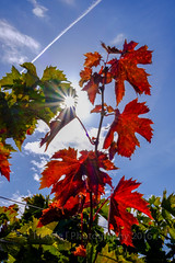 Red (treeffe2000) Tags: red blue marches vineyard leaves autumn backlit fujifilm xt1 27mm